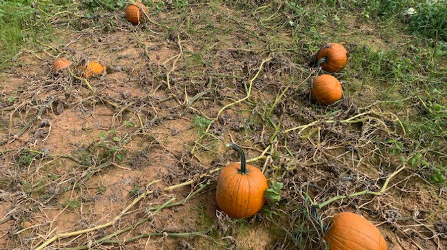 Old Baker Farm Pumpkin Patch Opens Saturday With Social Distancing Changes Wbma